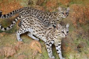 Capítulo 4: Pequenos gatos brasileiros