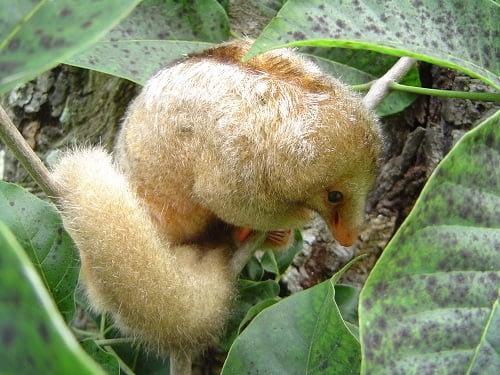 tamanduaí pequeno